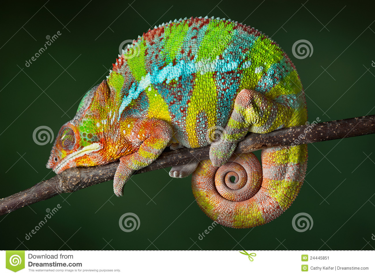 Download Sleeping Chameleon stock image. Image of reptile, panther - 24445851
