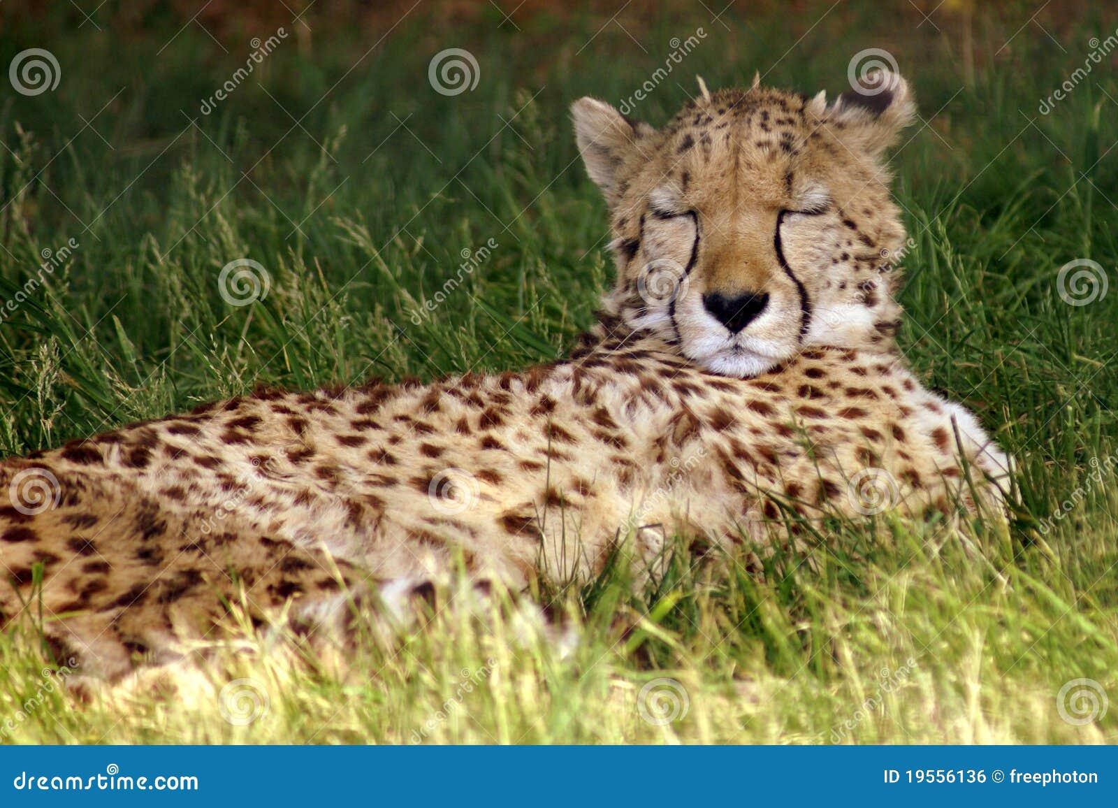 sleeping cheetah stock photo image of wild dreamy half 19556136