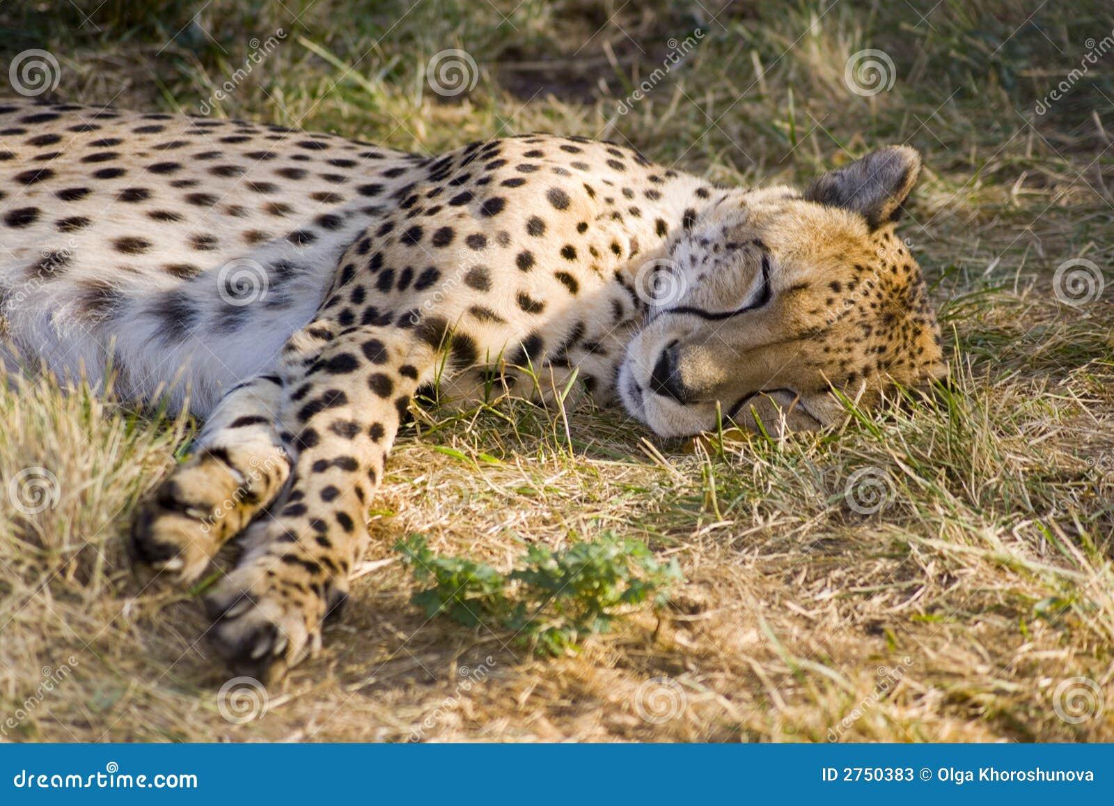 sleeping cheetah stock image image of sleeping head 2750383