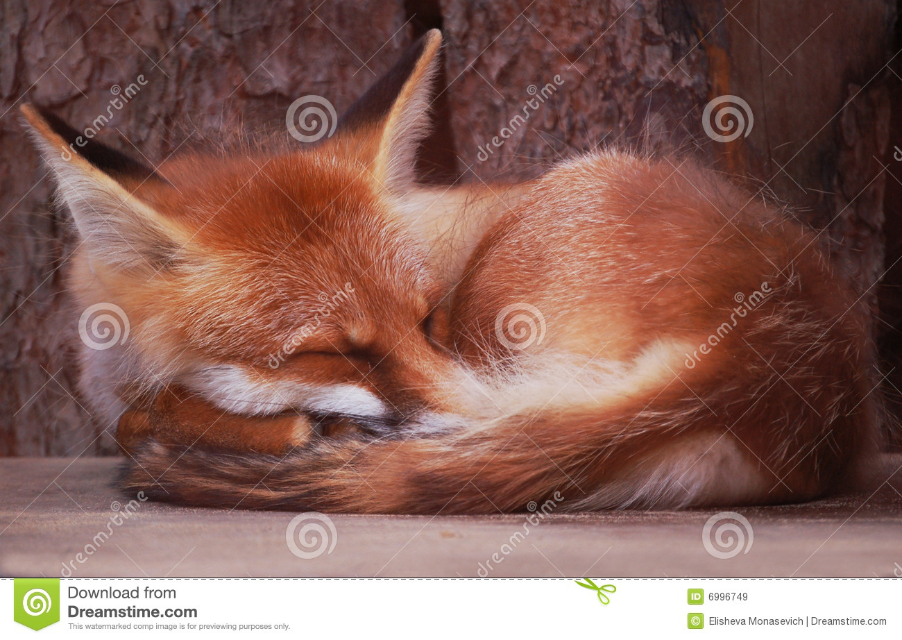 Sleeping Fox Royalty Free Stock Images Image 6996749