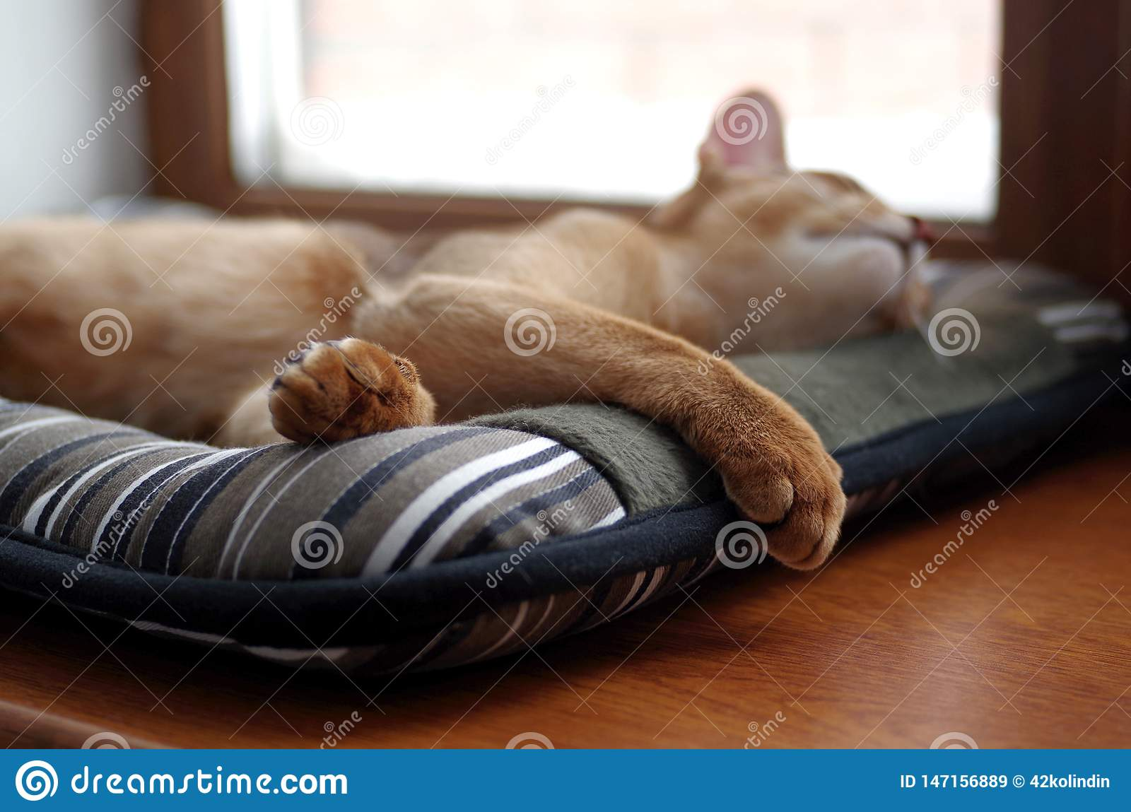 Sleeping ginger young Abyssinian kitten on gray pillow