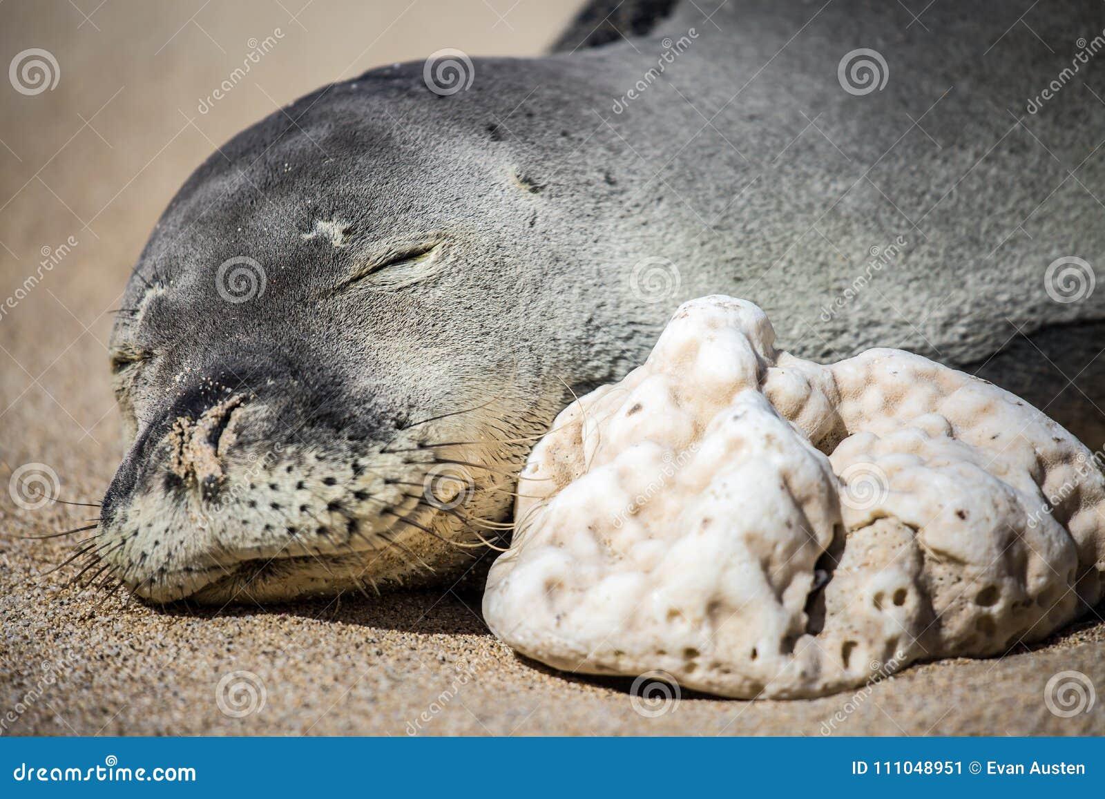Sleeping Hawaiian monk seal on the beach