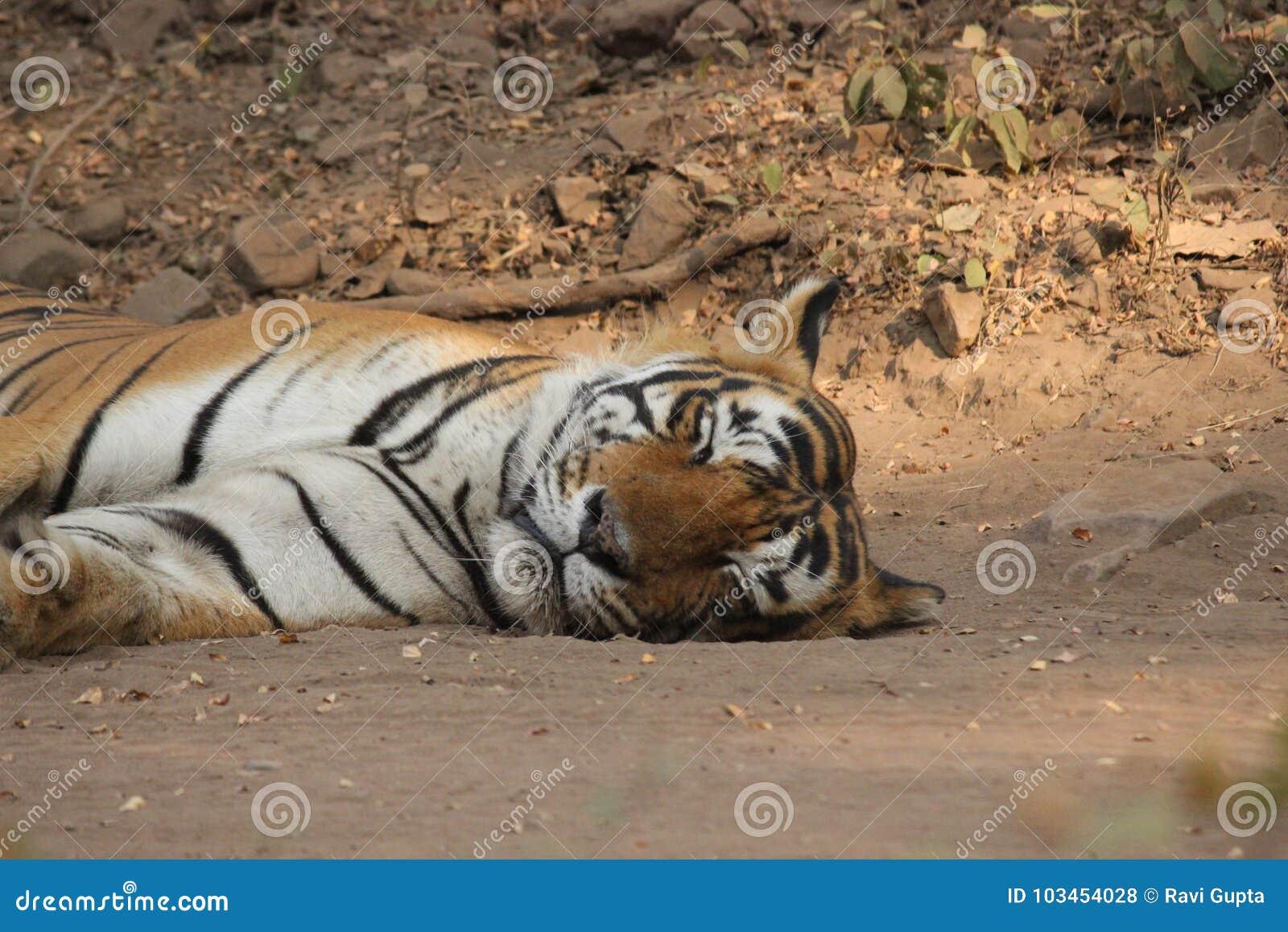 Beautiful Bandhavgarh ........ - Natures Images |Bengal Tiger Tired