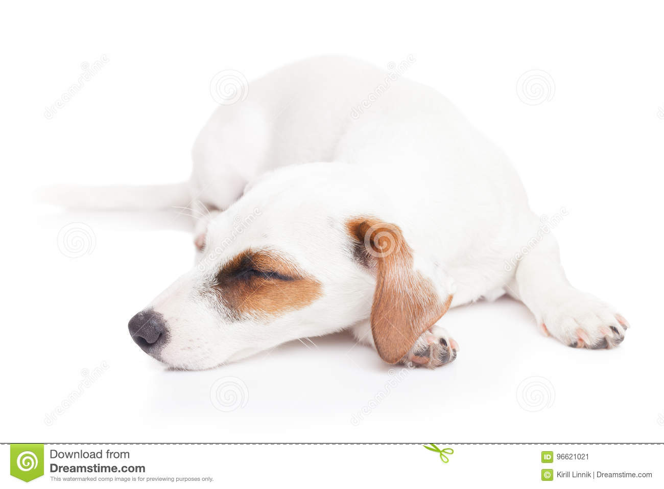 Download Sleeping Jack Russell Terrier Stock Image - Image of lonely, rest: 96621021