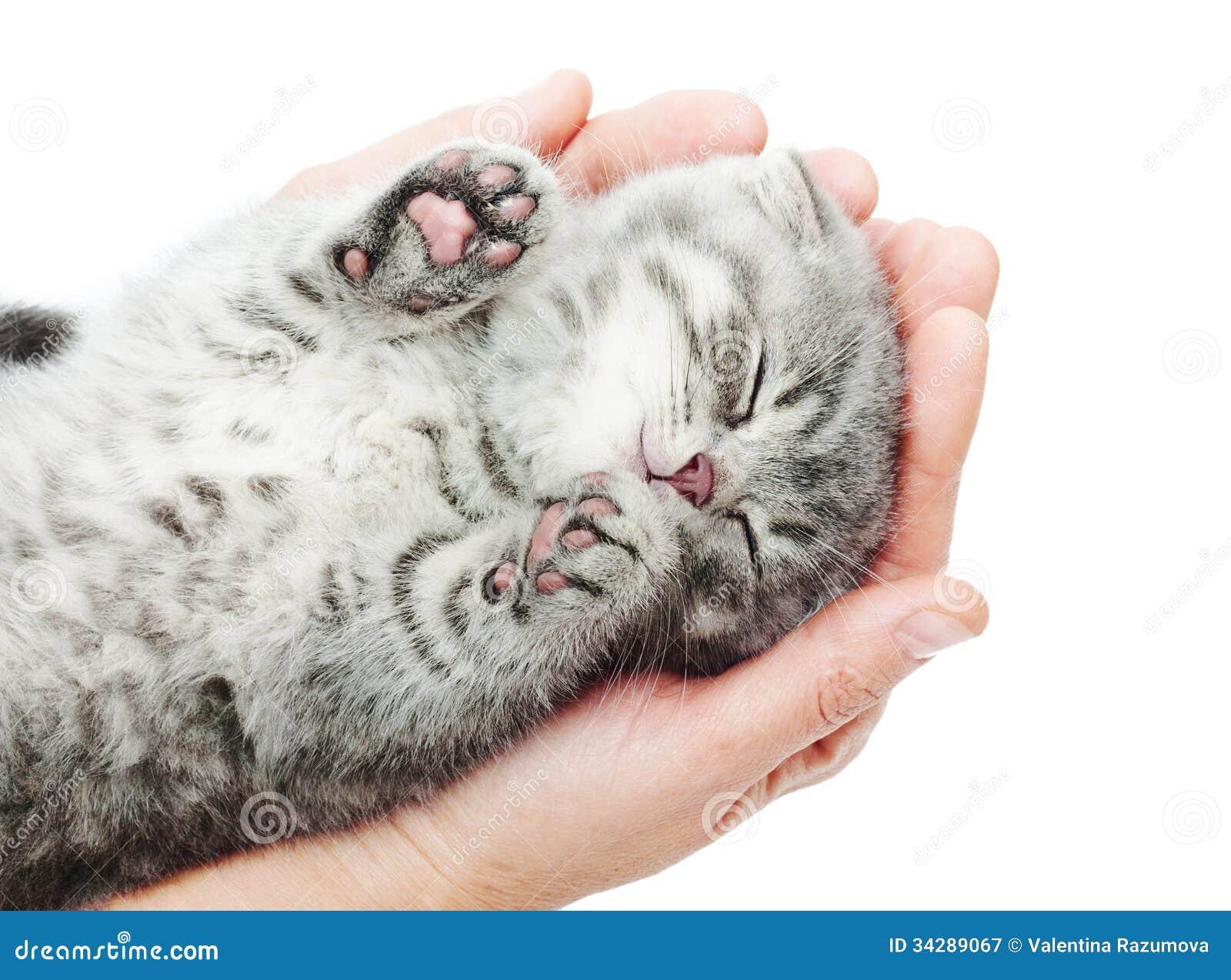 Sleeping Kitten On Hand Royalty Free Stock Photography ... Tabby Cat Sitting Up