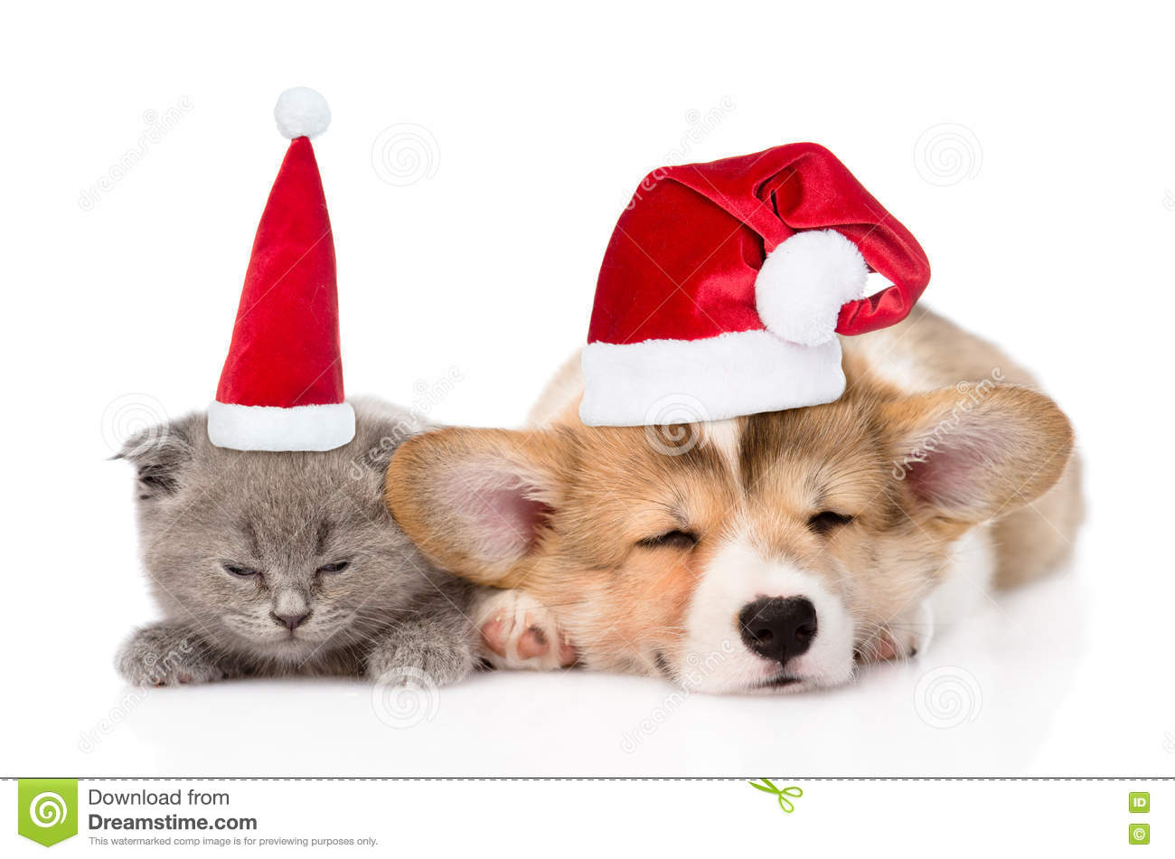 Sleeping kitten and Pembroke Welsh Corgi puppy in christmas hats. isolated  on white 1aa9929174b7
