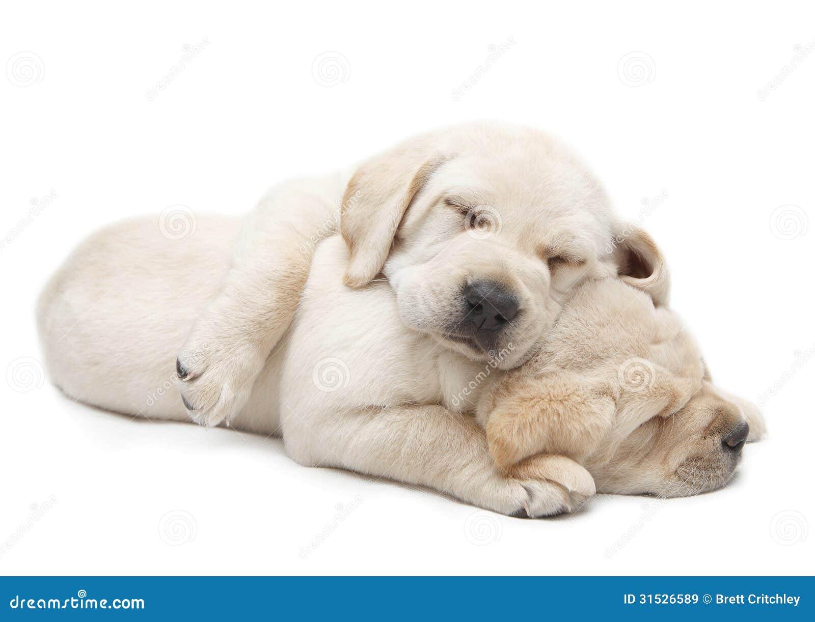 Sleeping Labrador puppies