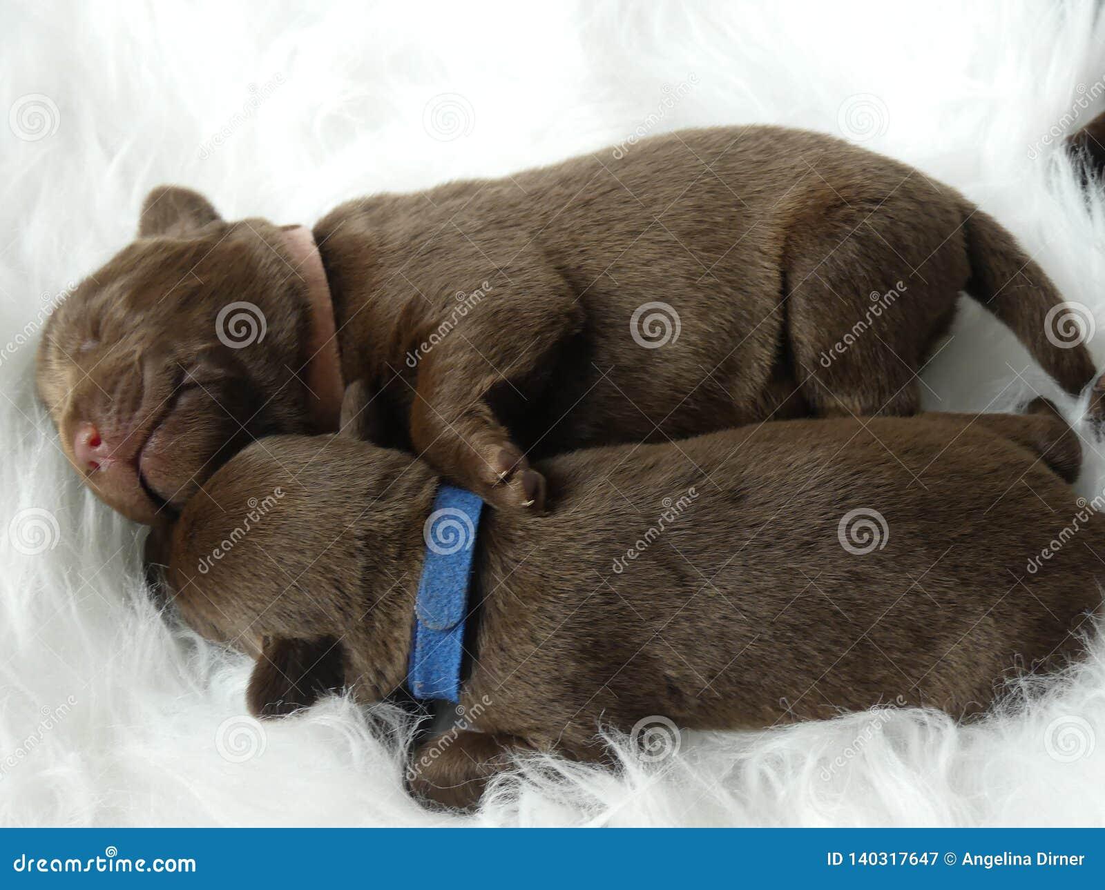 Sleeping Labrador Puppies Stock Image Image Of Labrador 140317647