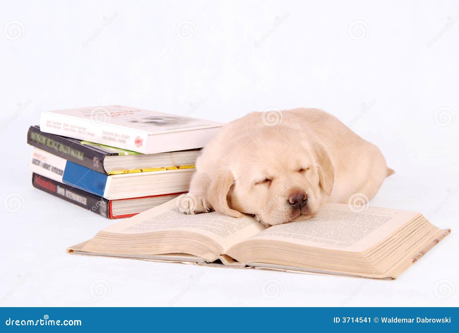Sleeping Labrador Puppy with books