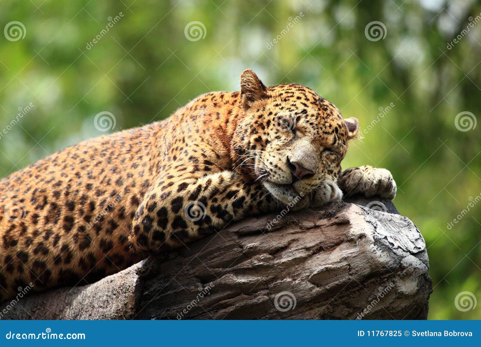 fa8e476aaf Sleeping Leopard stock image. Image of predator