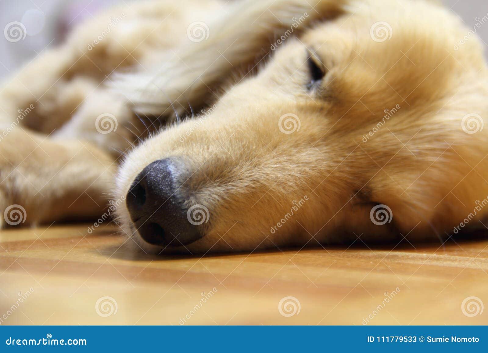 Sleeping long hair dachshund