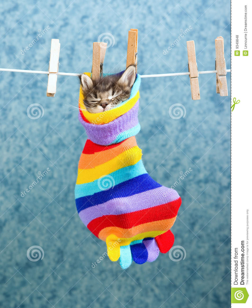 Sleeping Maine Coon Kitten In Sock Royalty Free Stock ... Tabby Cat Sitting Up