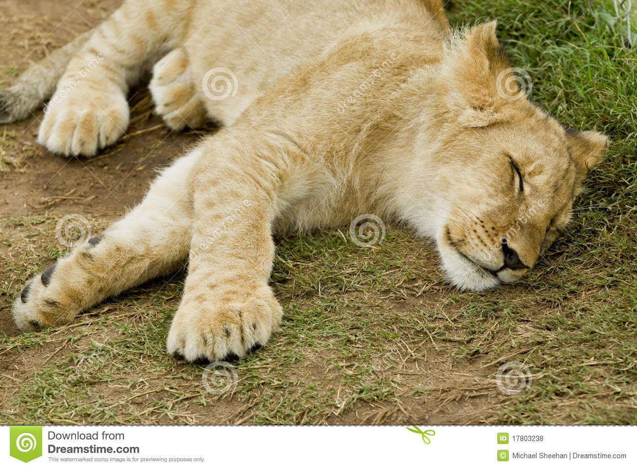 Sleeping Male Lion Cub Royalty Free Stock Photos - Image ...