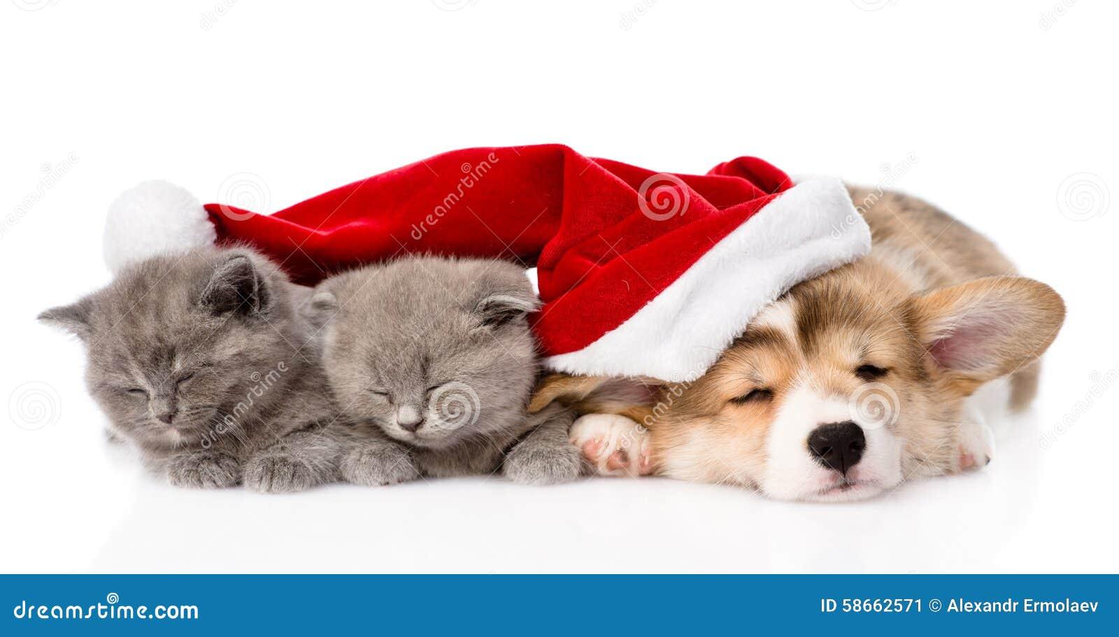 Sleeping pembroke welsh corgi puppy dog with santa hat and