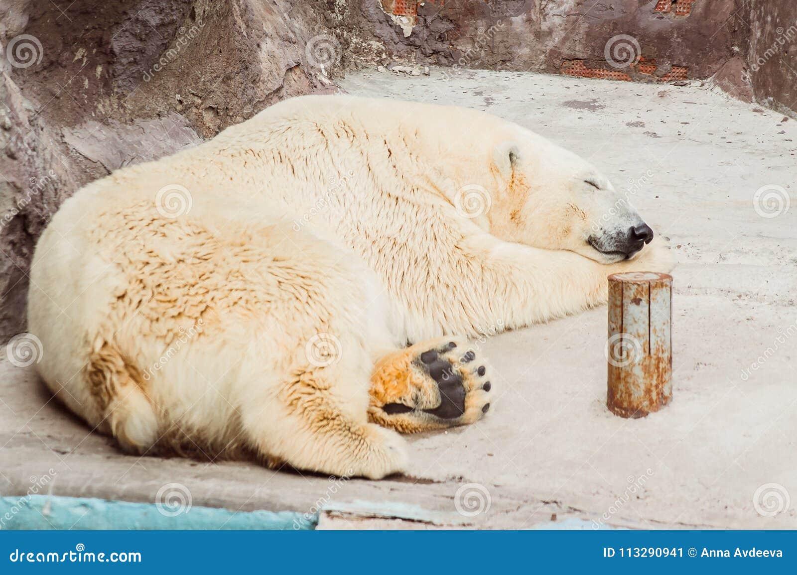 Sleeping polar bear in the zoo