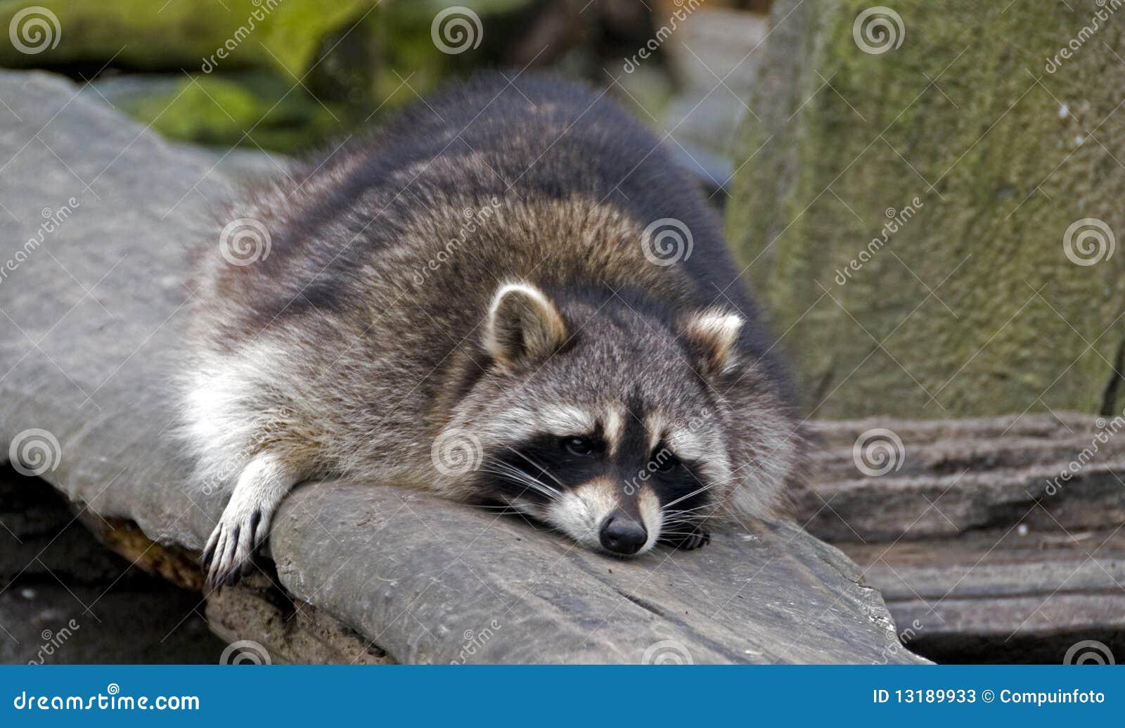 [Image: sleeping-raccoon-13189933.jpg]