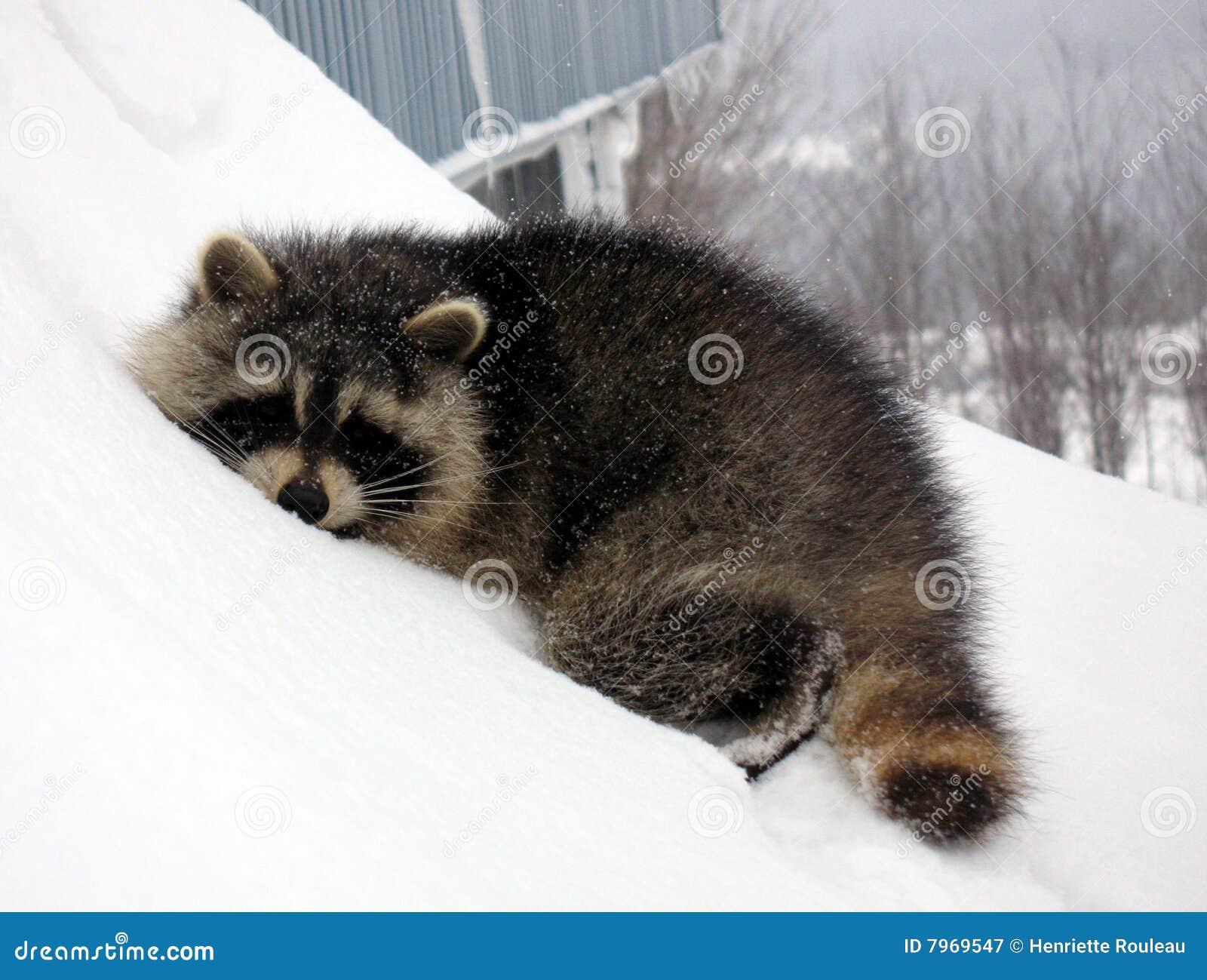 Sleeping Raccoon On Snow Royalty Free Stock Photography