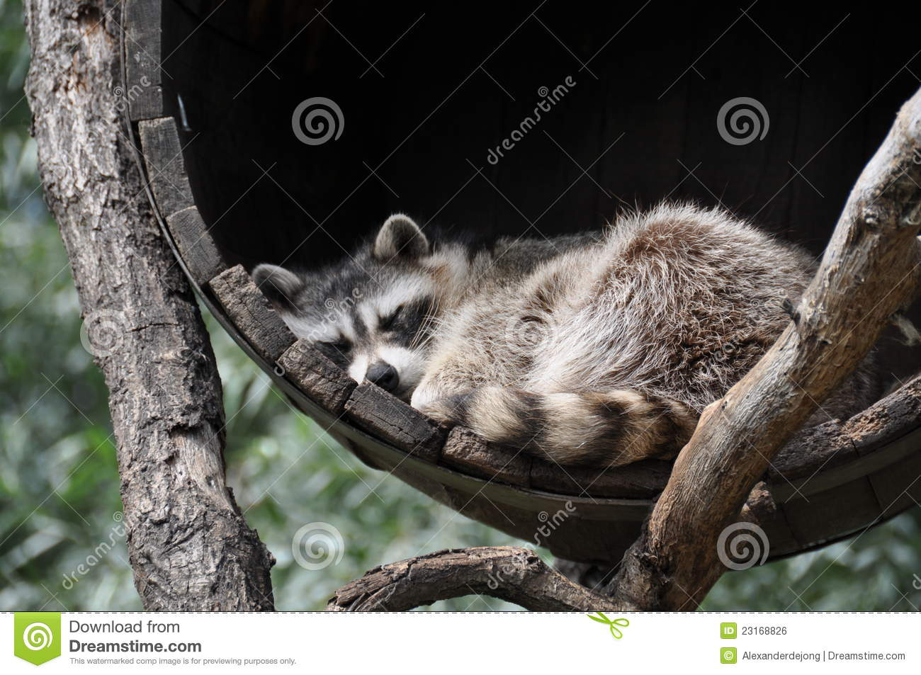 how to call raccoons in the daytime