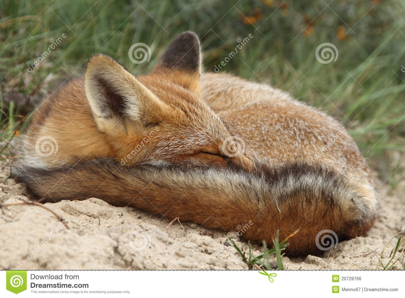 sleeping red fox cub royalty free stock image image 20728766