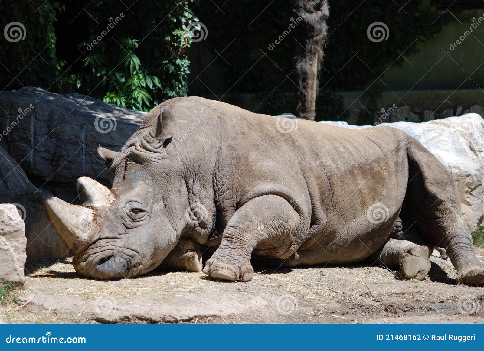 Sleeping Rhino by Gary Gantert - Photo 2920376 / 500px