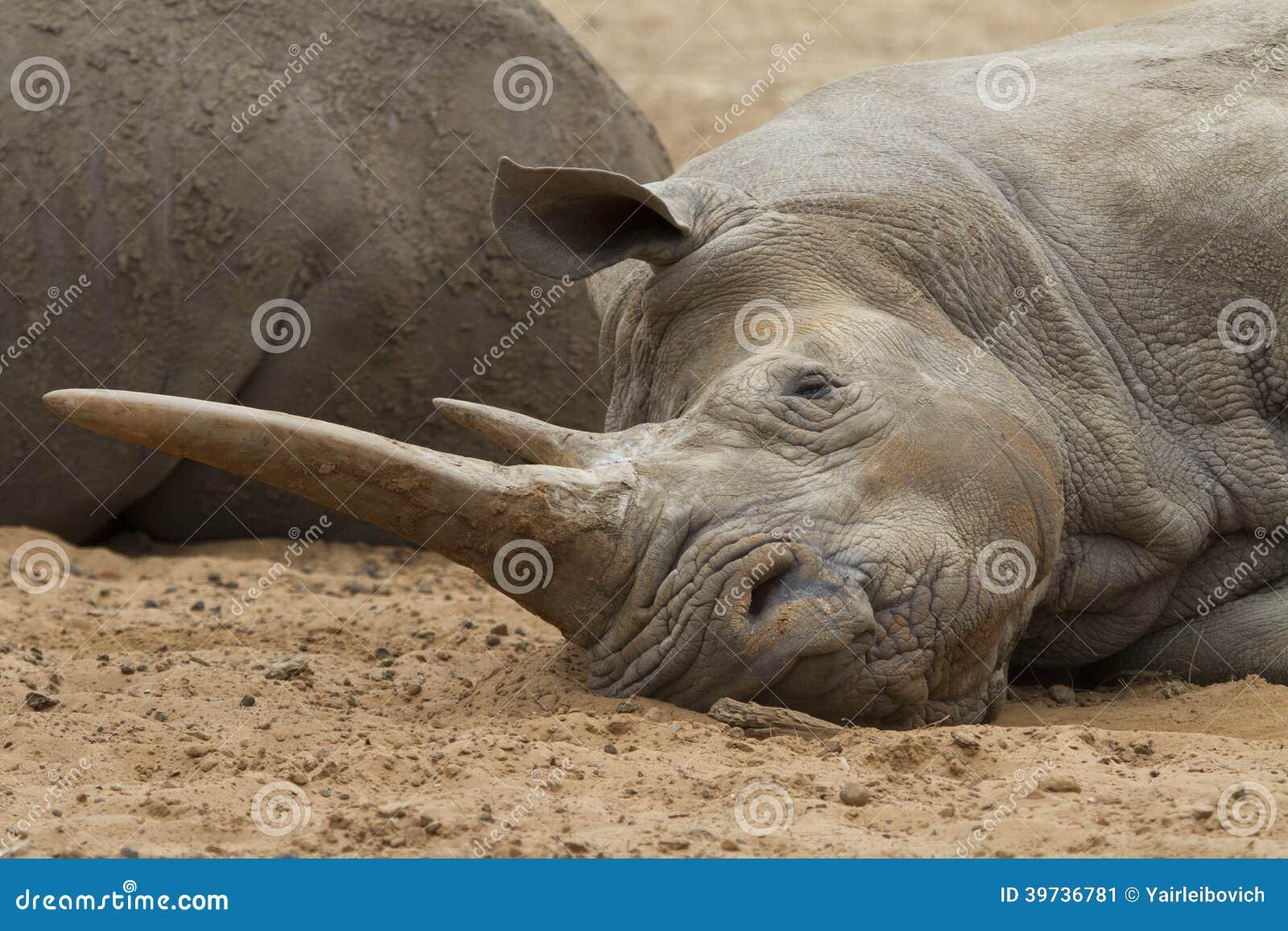 Sleeping White Rhino by WillemSvdMerwe on DeviantArt