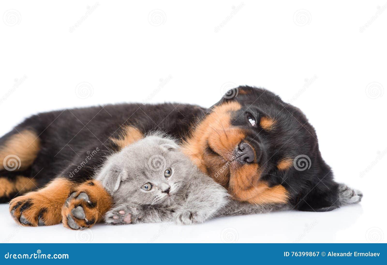 Sleeping Rottweiler Puppy Hugging Newborn Kitten Isolated