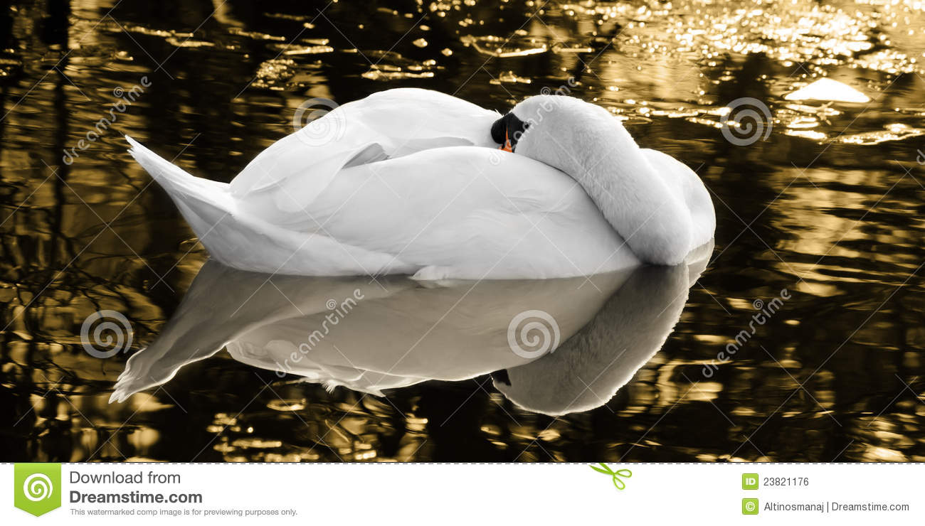 The Sleeping Swans >> The Sleeping Swan Of The Golden Lake Stock Photo Image Of Gold