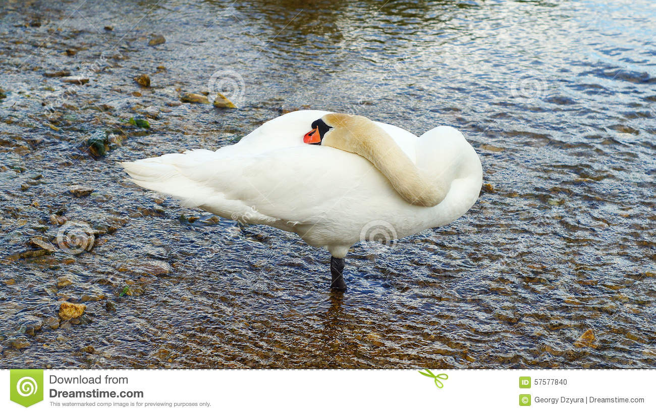 The Sleeping Swans >> Sleeping Swan Stock Images Download 372 Royalty Free Photos
