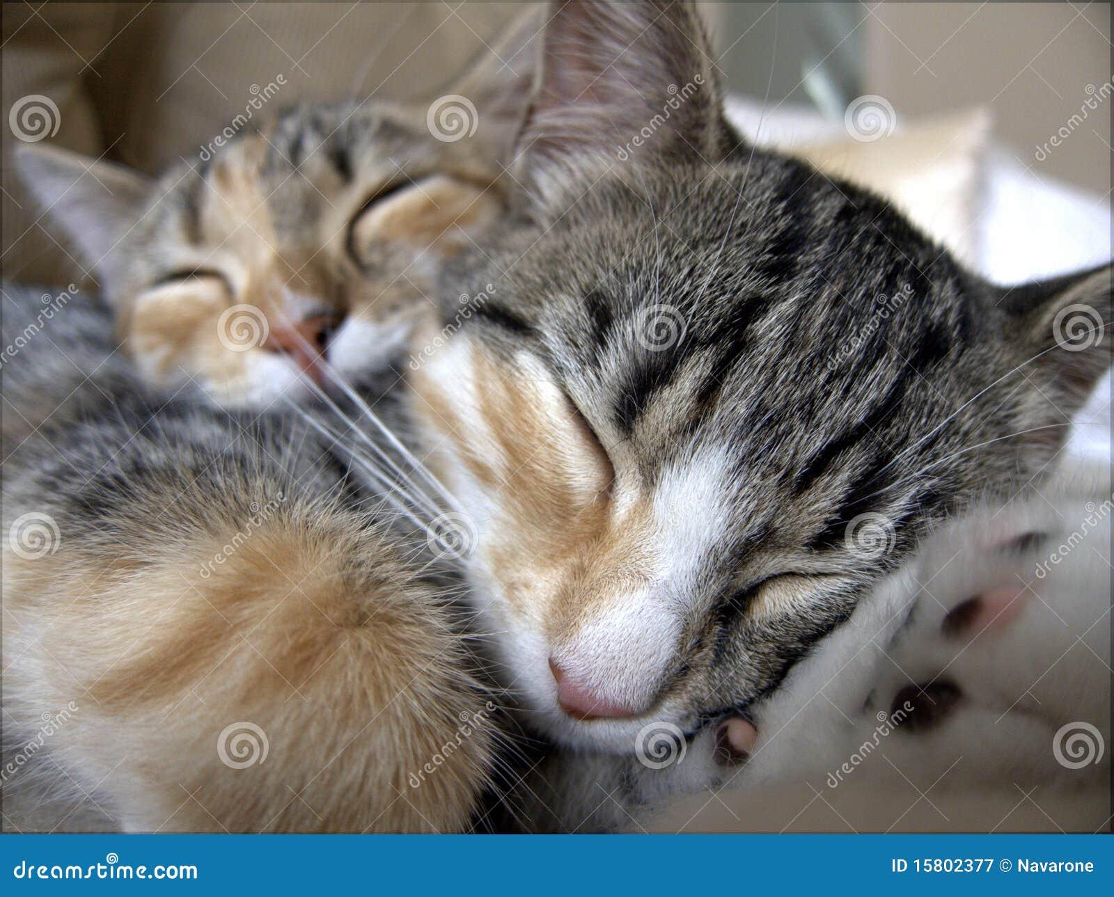 Sleeping Tabby Cats Royalty Free Stock Photography Image