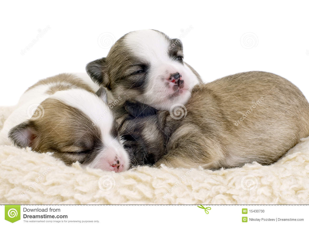 Displaying 15> Images For - Newborn Chiweenie Puppies...
