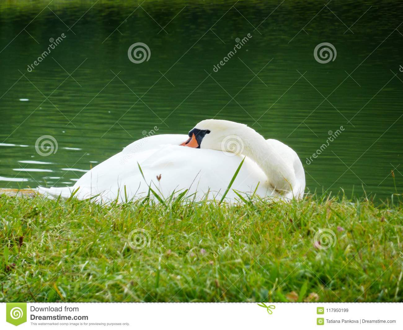 The Sleeping Swans >> The Sleeping White Swan On The Bank Of The Lake Stock Image Image