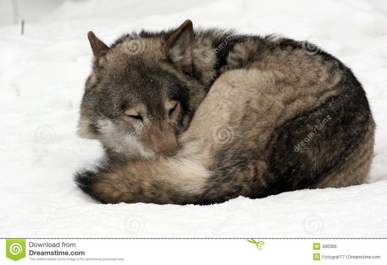 Sleeping Wolf Royalty Free Stock Images - Image: 480389