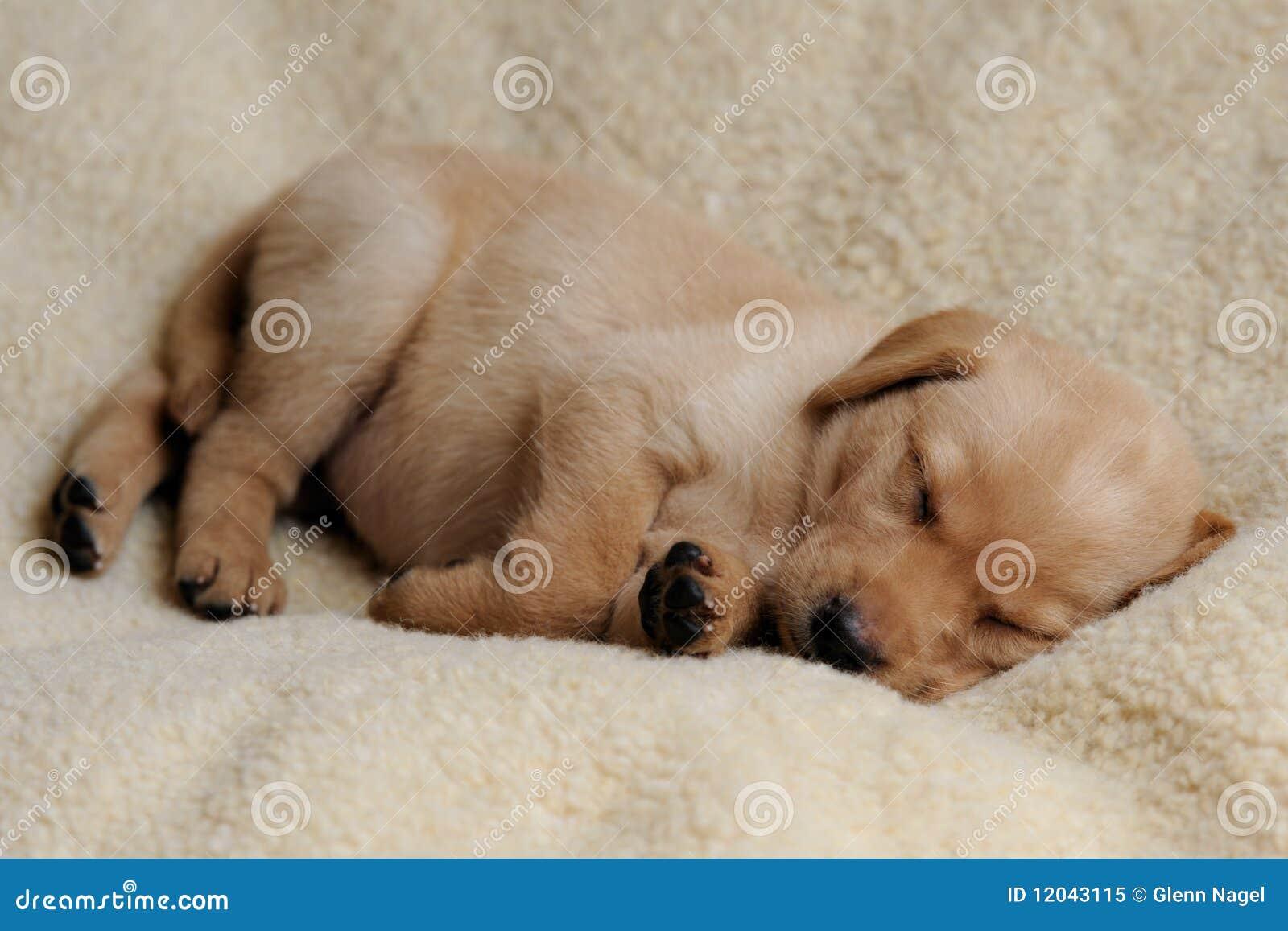 yellow lab puppy sleeping - photo #17