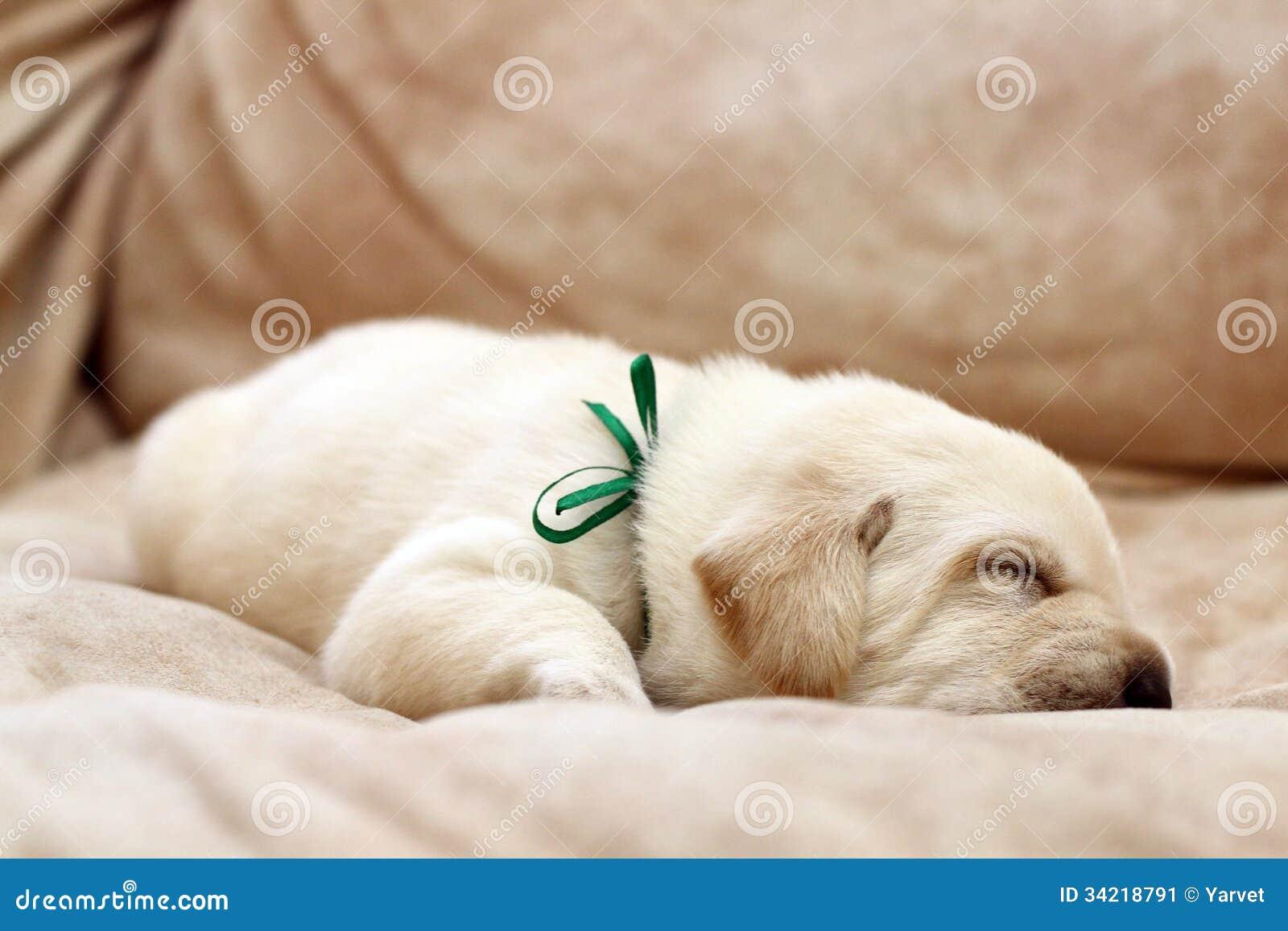 yellow lab puppy sleeping - photo #13