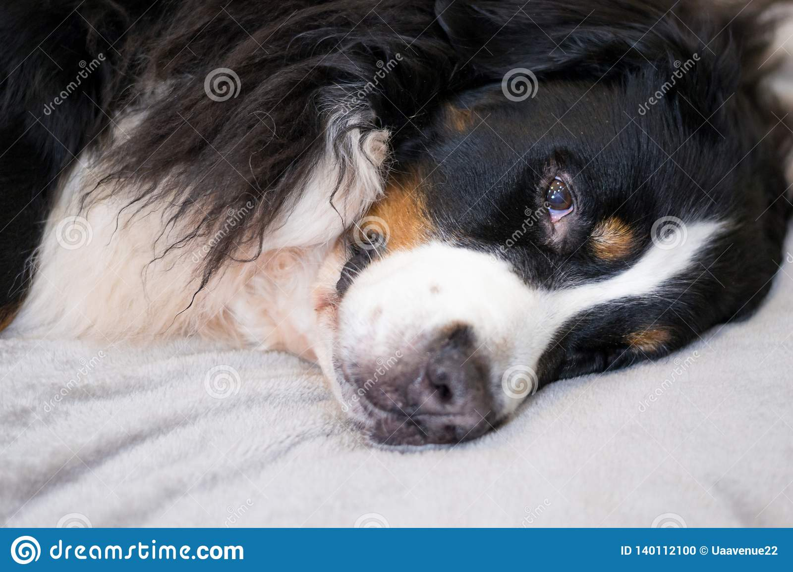 Sleepy Bernese Mountain dog is lying on beige plush plaid. time for sleeping. Comfortable and lovely home. Family time spending