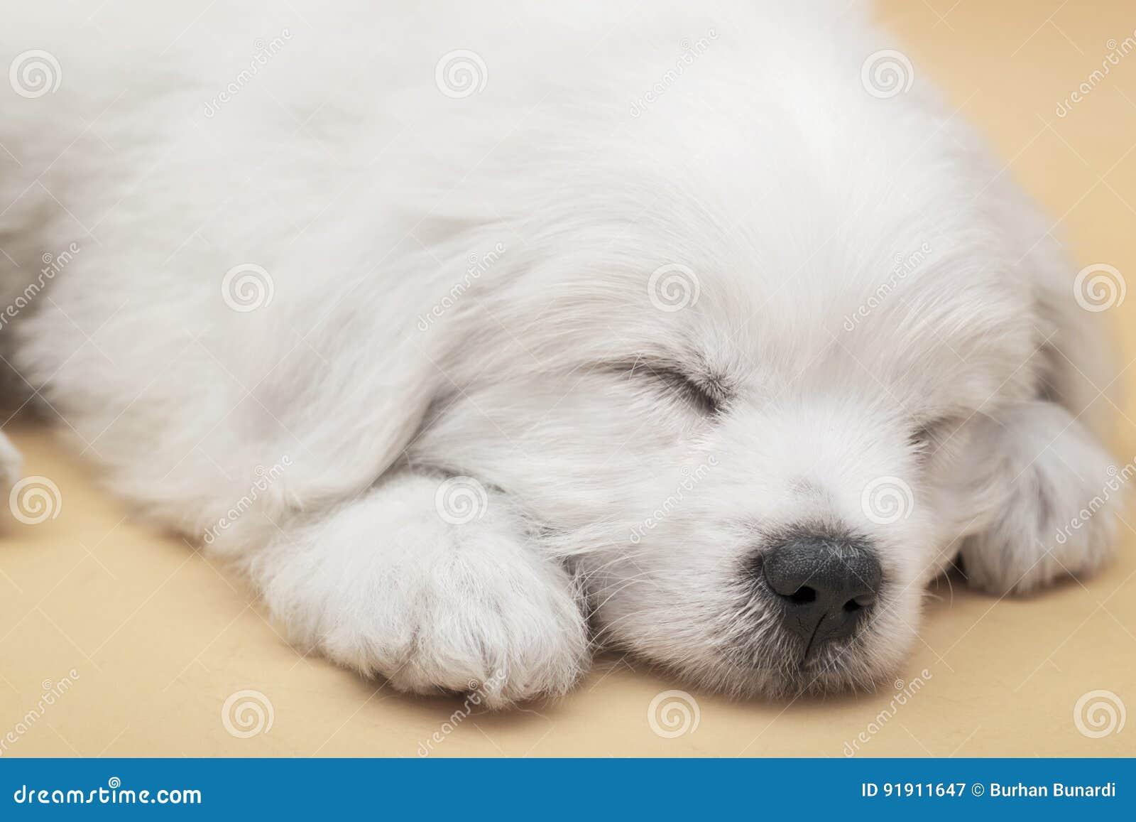Sleepy Maltese Puppy Stock Image Image Of Studio Small 91911647