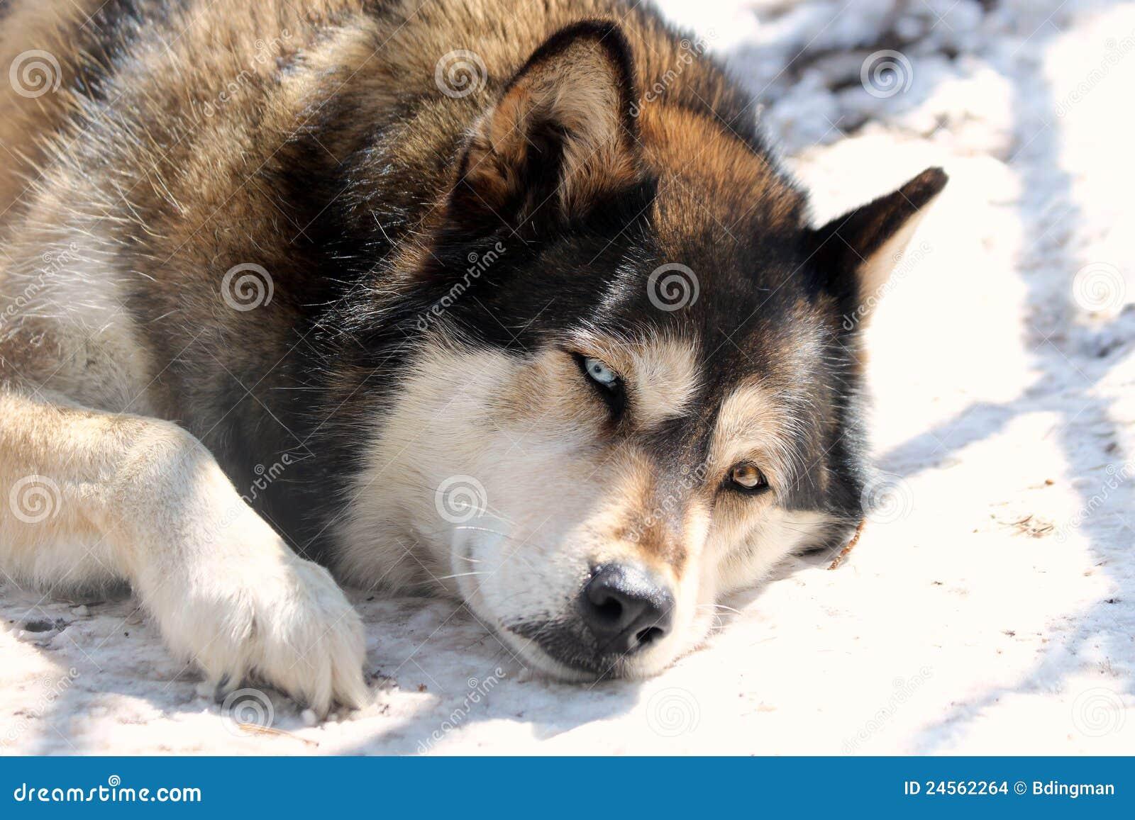 sleepy wolf stock images image 24562264