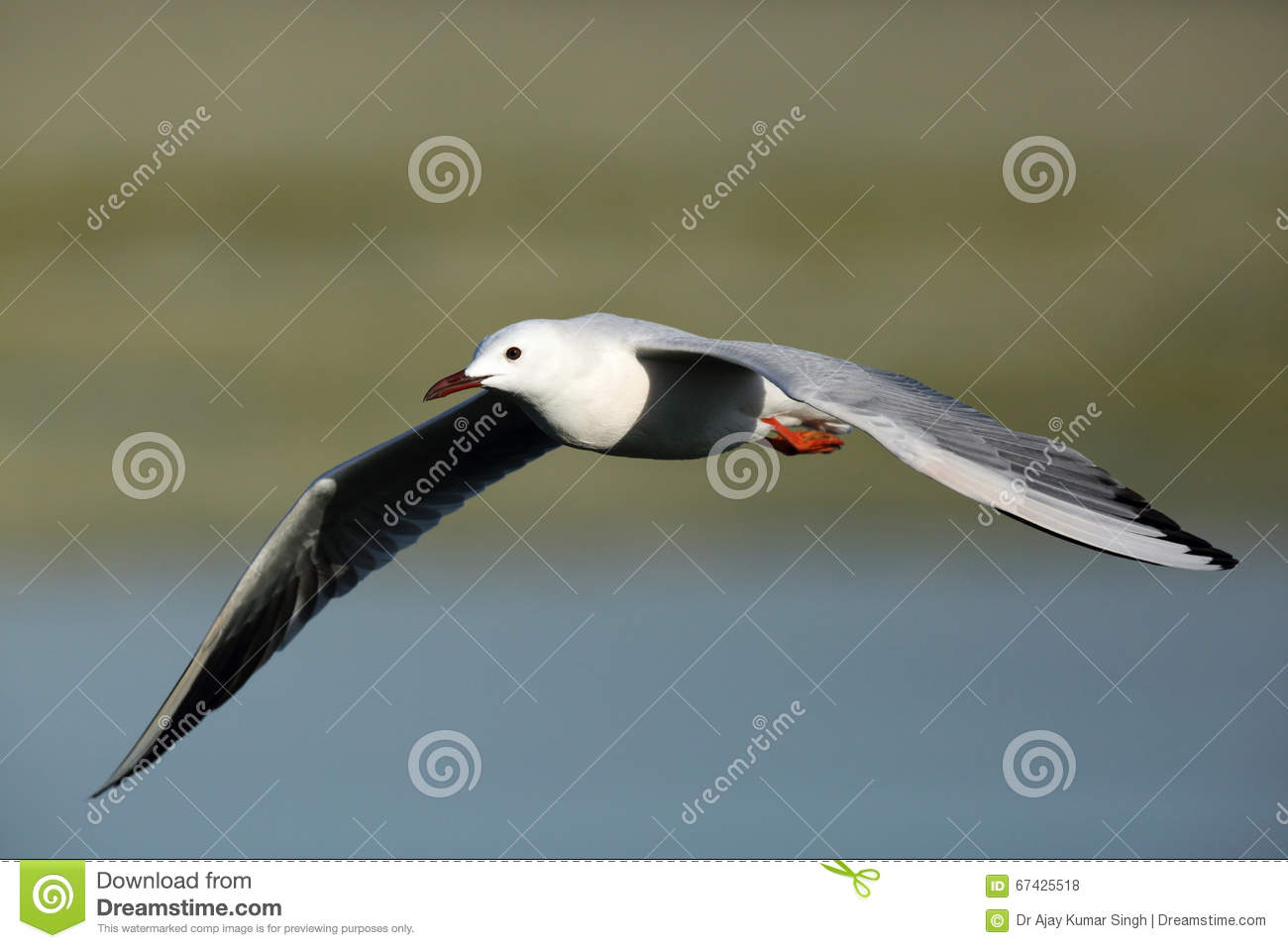 Slender Billed Seagull In Flight Stock Photo Image Of Fauna Large