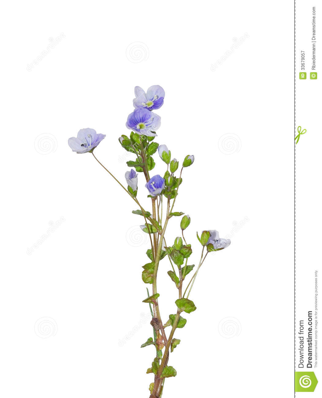 Slender speedwell veronica filiformis stock image image of download slender speedwell veronica filiformis stock image image of veronica white mightylinksfo