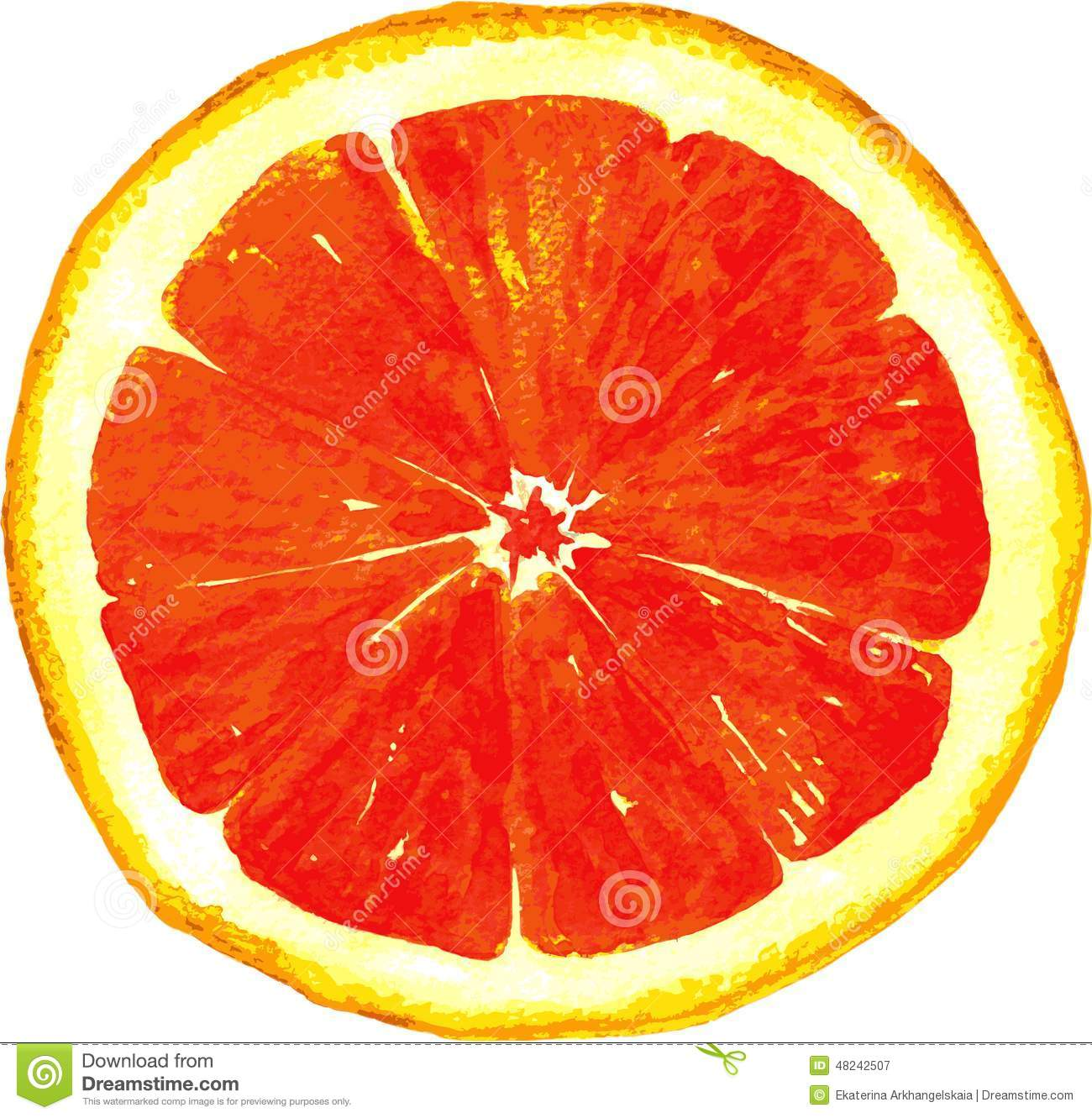 Slice Of Grapefruit Drawing By Watercolor Stock Vector - Image: 48242507