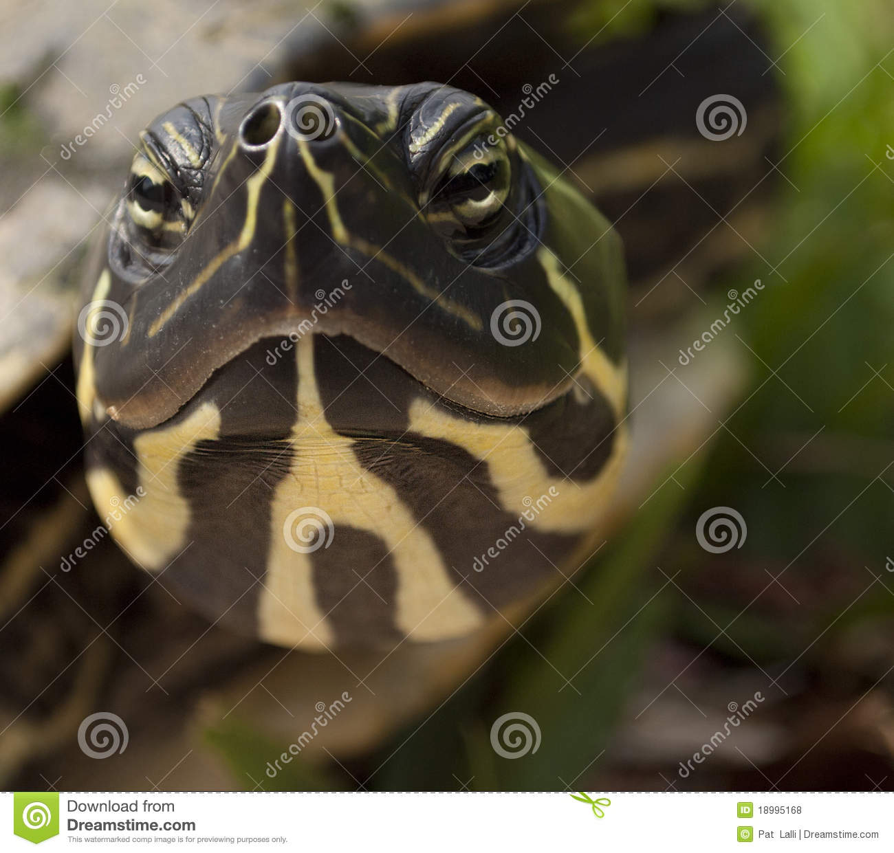 Slider Turtle Close Up Head Front Royalty Free Stock