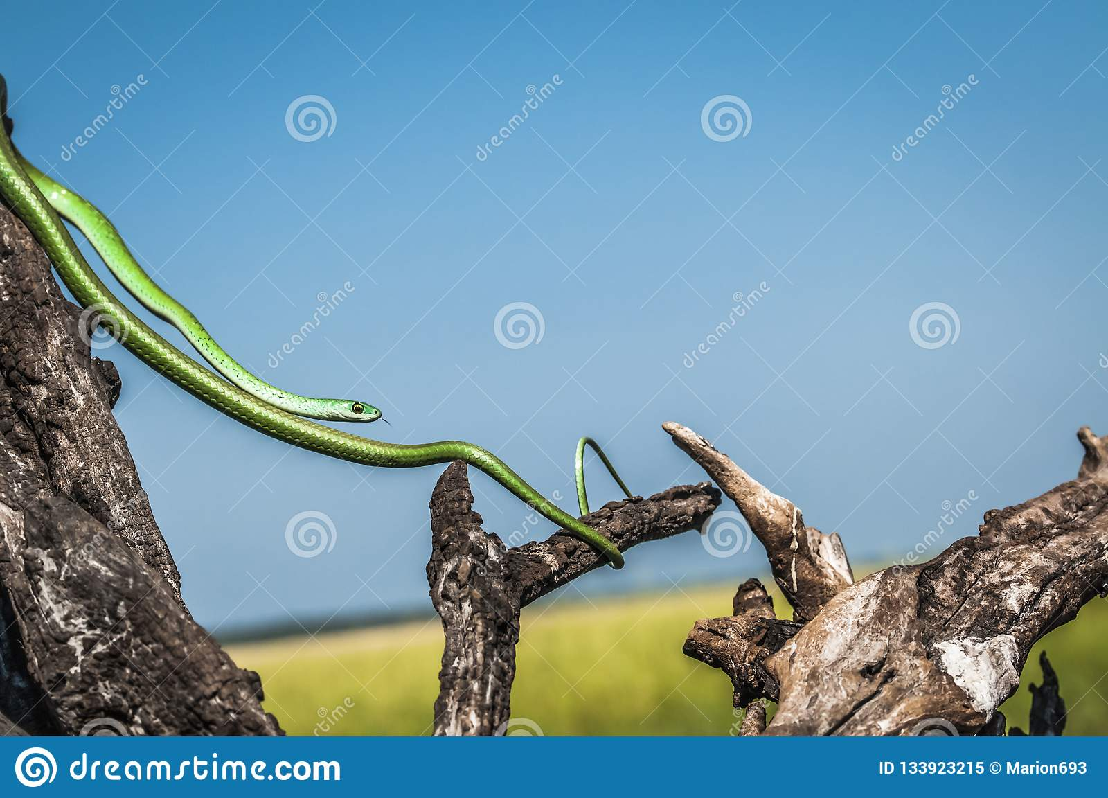 Slim green snake, stretched between dead tree branches