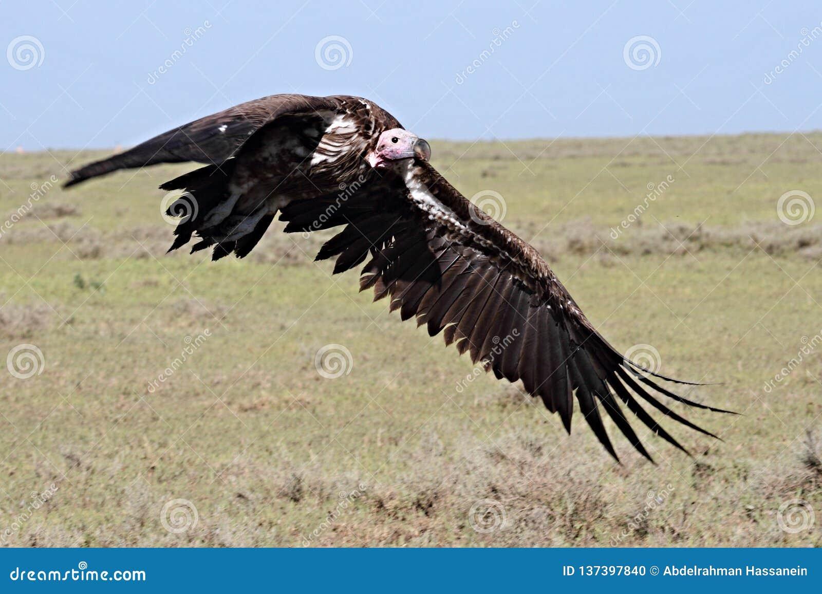 Slip onder ogen gezien gier die voorbereidingen treffen te landen