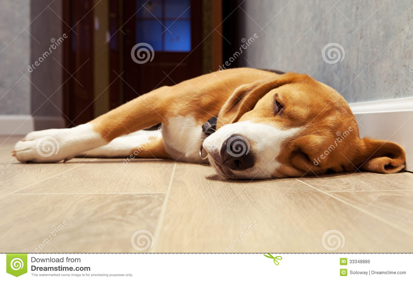 Sleeping Beagle Dog On The Wood Floor Royalty Free Stock
