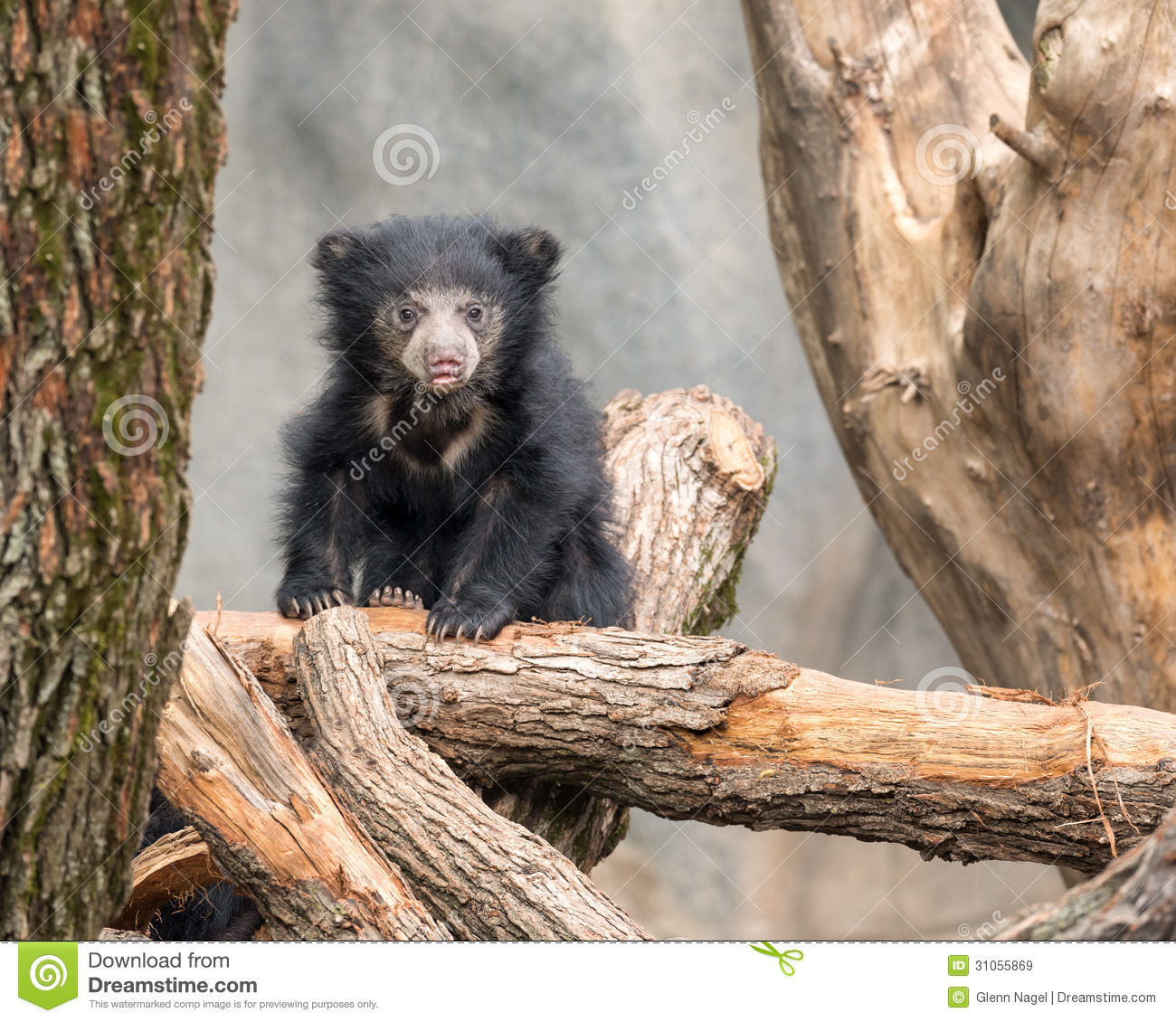 Sloth Bear  BEARS OF THE WORLD