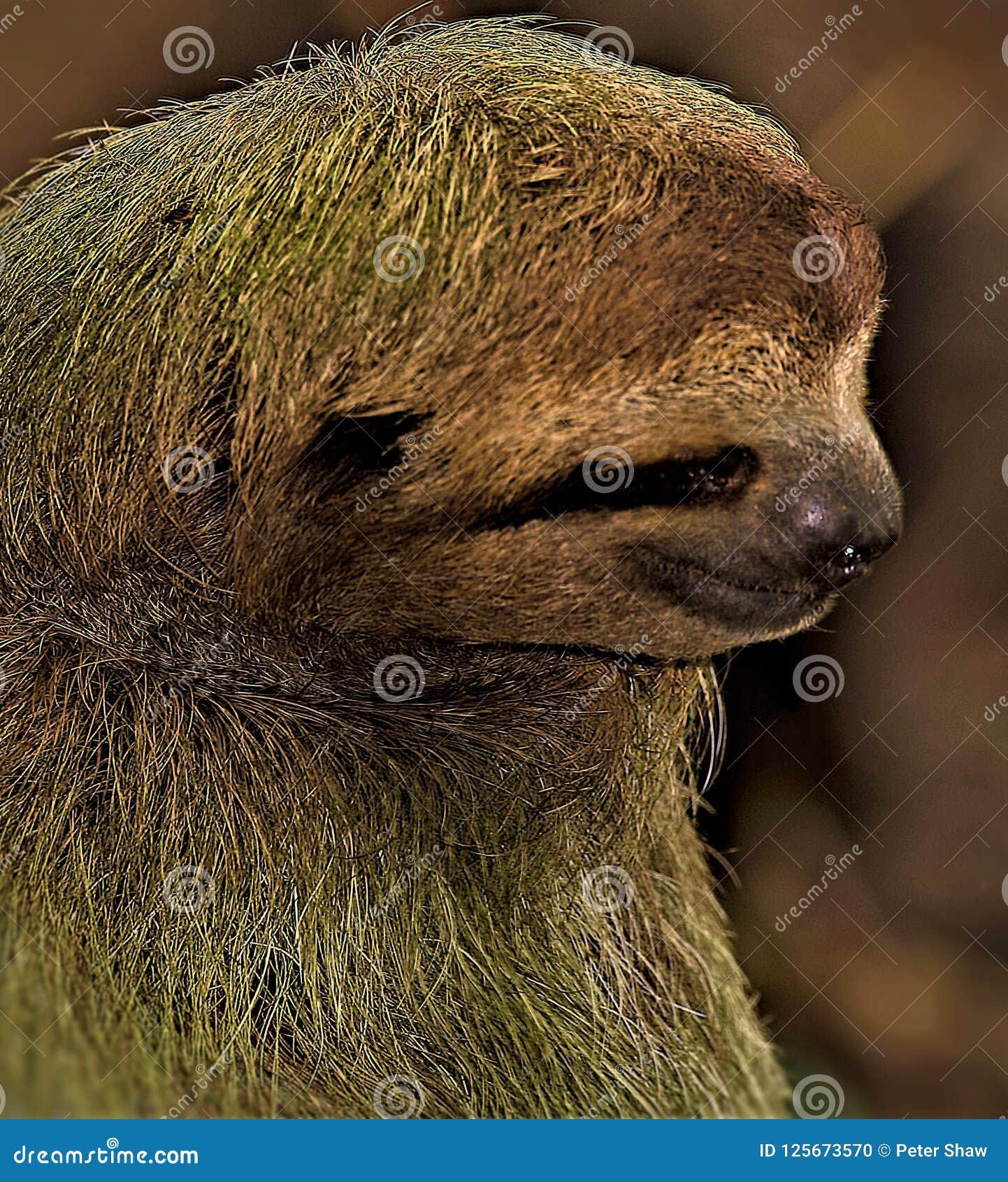 Sloth Portrait In Manuel Antonio National Park Stock Photo Image