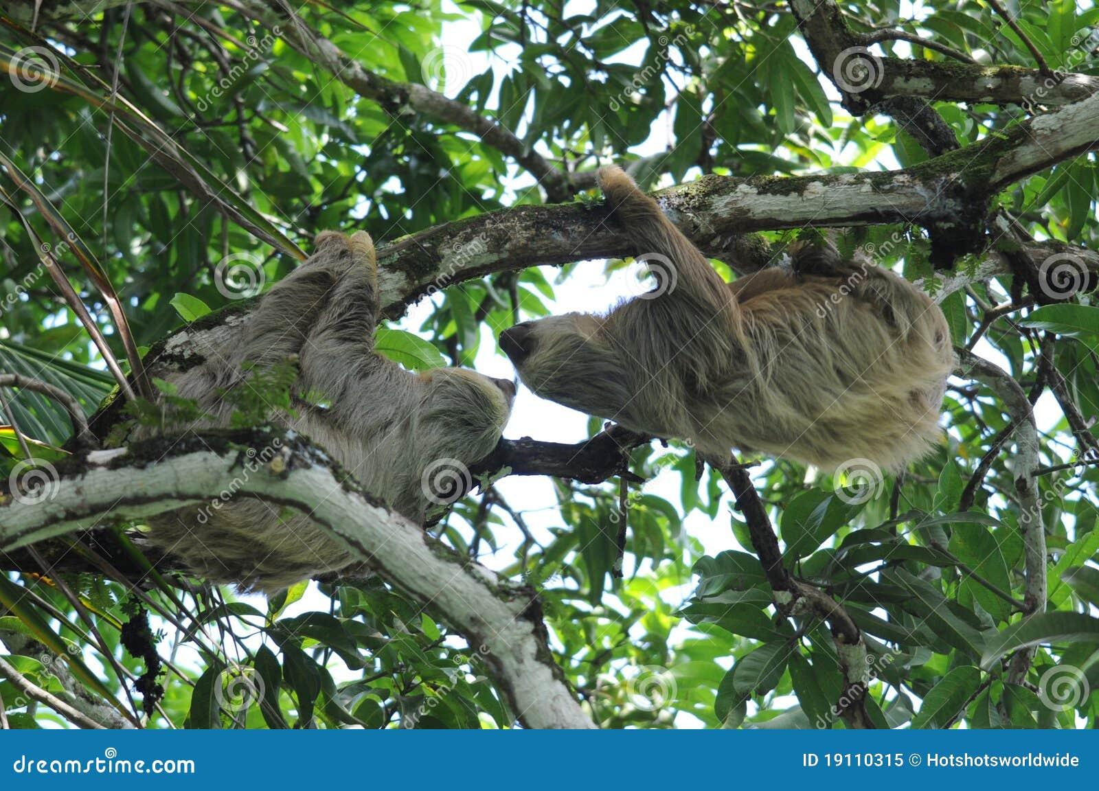 Sloths för costaparrica toe tree två