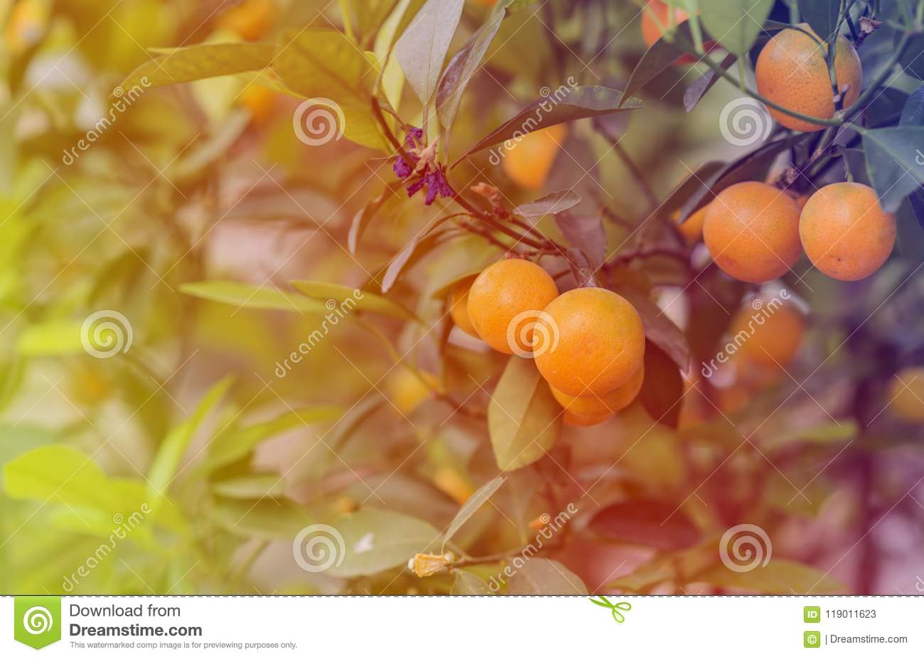 soft light of kumquat tree in the farm peach blossom tree kumquat