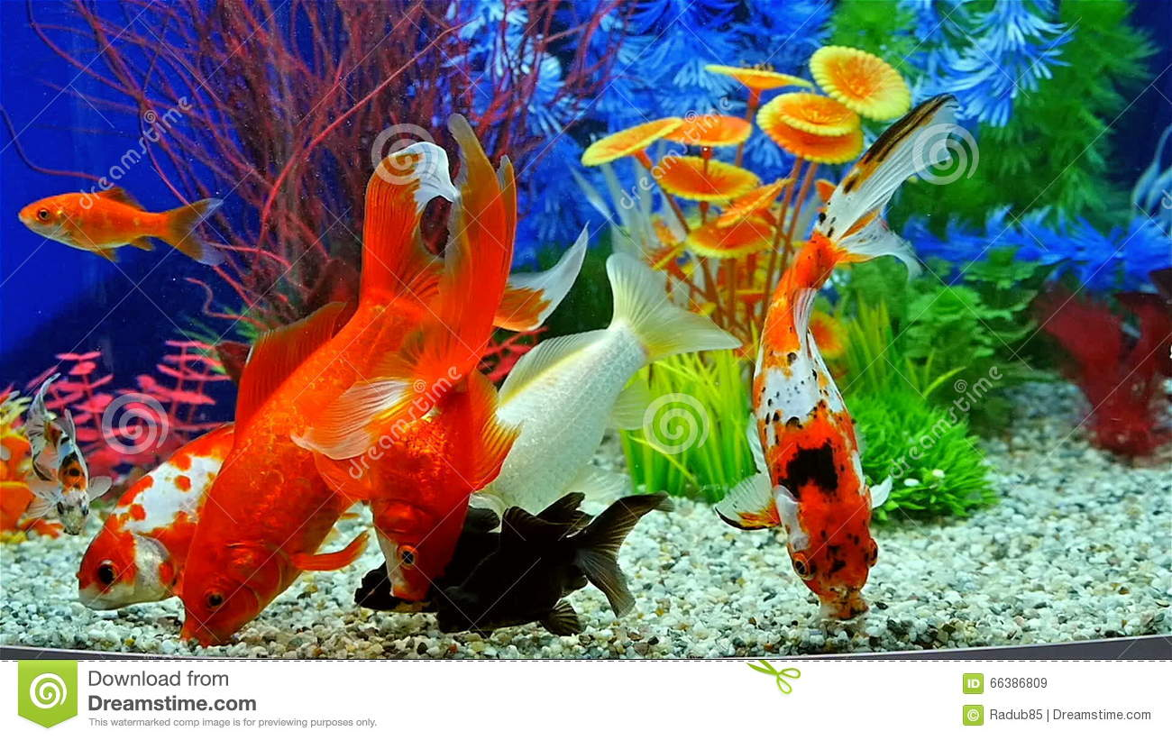 Slow Motion Of Goldfish Eating Fish Food In Freshwater Aquarium ...