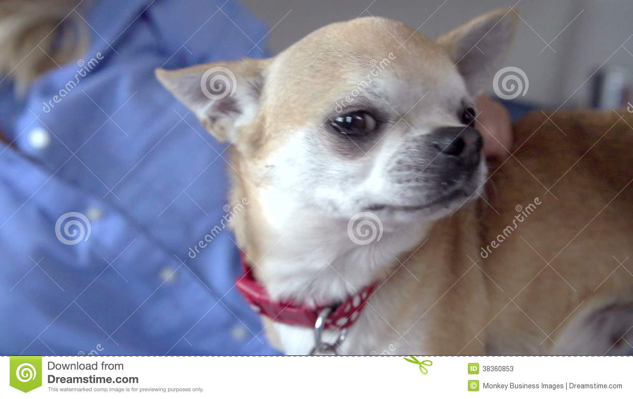 Slow Motion Sequence Of Woman Stroking Pet Chihuahua Stock Footage ...